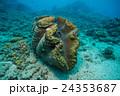 グリーン島の大シャコガイ 24353687