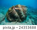 グリーン島の大シャコガイ 24353688