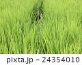 夏の稲田 24354010