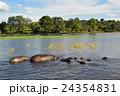 アフリカ野生動物カバ04 24354831