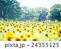 夏のひまわり畑 24355125