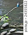 カワセミと亀 24355822