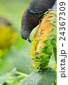 ヒマワリ畑のハト 24367309