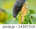 ヒマワリ畑のハト 24367310