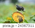 ヒマワリ畑のハト 24367311