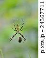 長黄金蜘蛛 蜘蛛 蜘蛛の巣の写真 24367711