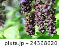 アケビ科 三葉木通 三葉通草の写真 24368620