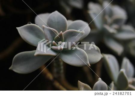 多肉植物「エケベリア/龍月」 24382701