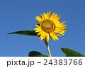 ヒマワリと青空 24383766
