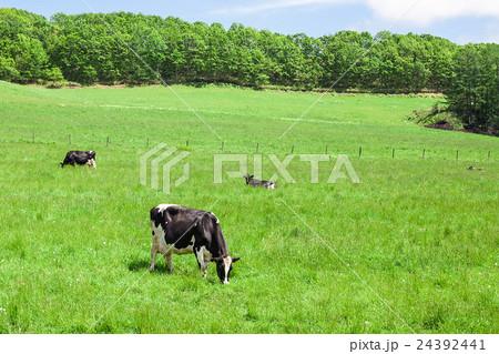 乳牛 24392441