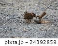 すずめ 鳥 野鳥の写真 24392859