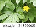 ゴーヤ ゴーヤの花 花の写真 24399085