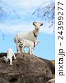 山羊のポートレート 24399277