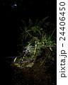オニヤンマの産卵 24406450