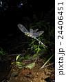 オニヤンマの産卵 24406451