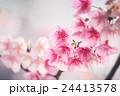 櫻花 24413578