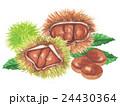 栗 秋の味覚 毬栗のイラスト 24430364