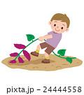 芋掘りをする男の子 24444558