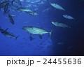 小笠原のマグロ穴のイソマグロの群れ 24455636