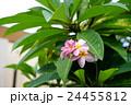 南国の花プルメリア 24455812