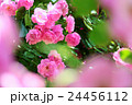 薔薇 花 植物の写真 24456112