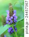 ブルーサルビア 植物 花の写真 24457367