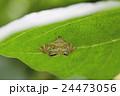 キオビミズメイガ ガ 虫の写真 24473056