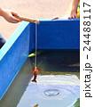 ザリガニ釣り 24488117
