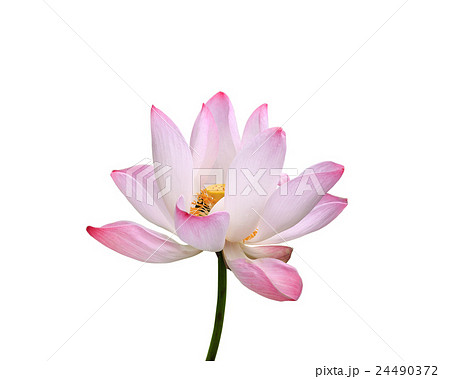 Beautiful pink lotus flower isolated on white. Saved with clipping path (Lotus used to worship)の写真素材 [24490372] - PIXTA
