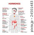 ほるもん ホルモン 人体のイラスト 24501483