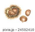 毬栗 栗 実のイラスト 24502410