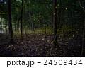 蛍 ヒメボタル キンボタルの写真 24509434