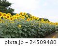 花 向日葵 夏の写真 24509480