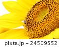 花 ひまわり 向日葵の写真 24509552