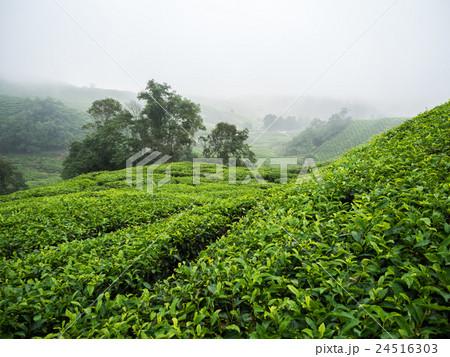 Boh Tea plantation in Cameron highlands 24516303