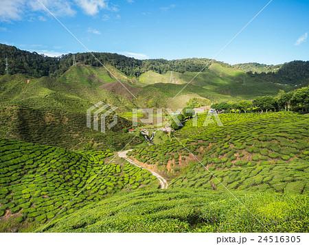 Tea plantation in the Cameron highlands 24516305