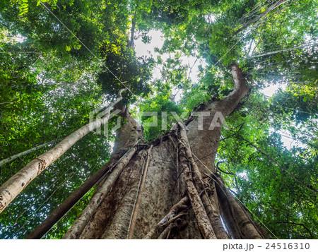 Old giant rain tree 24516310