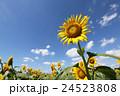 元気に咲くひまわり畑 24523808