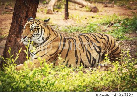 Big Bengal Tigerの写真素材 [24528157] - PIXTA