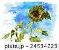 花 ヒマワリ 水彩のイラスト 24534223