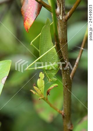 生き物 昆虫 ナカオレツユムシ、南西諸島在住。オスメスとも鳴くことができデュエットするそうです 24549035
