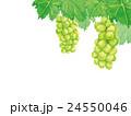 シャインマスカット マスカット 葡萄のイラスト 24550046