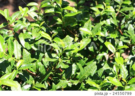 写真素材: 茶の木
