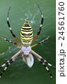 長黄金蜘蛛 捕食 蜘蛛の写真 24561760