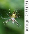 長黄金蜘蛛 捕食 蜘蛛の写真 24561761