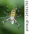 長黄金蜘蛛 捕食 蜘蛛の写真 24561763