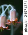 多肉植物の花に小さな昆虫 24571274