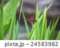 紅蜻蜓 24583982