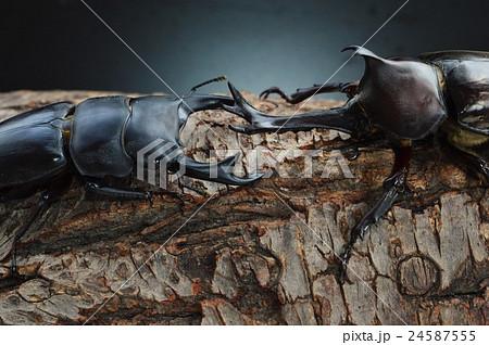 国産オオクワガタVS国産カブトムシの樹木の上での戦い 黒背景 24587555