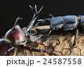 国産オオクワガタVS国産カブトムシの樹木の上での戦い 黒背景 24587558